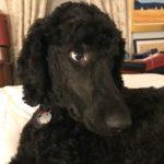 Arthur - Adopt a dog